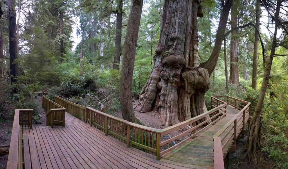 Deck around cedar tree, Rockaway Beach, Oregon