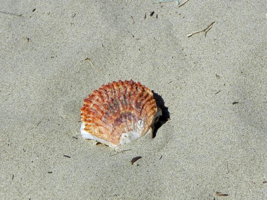 Shell on the beach, Rockaway Beach, Oregon