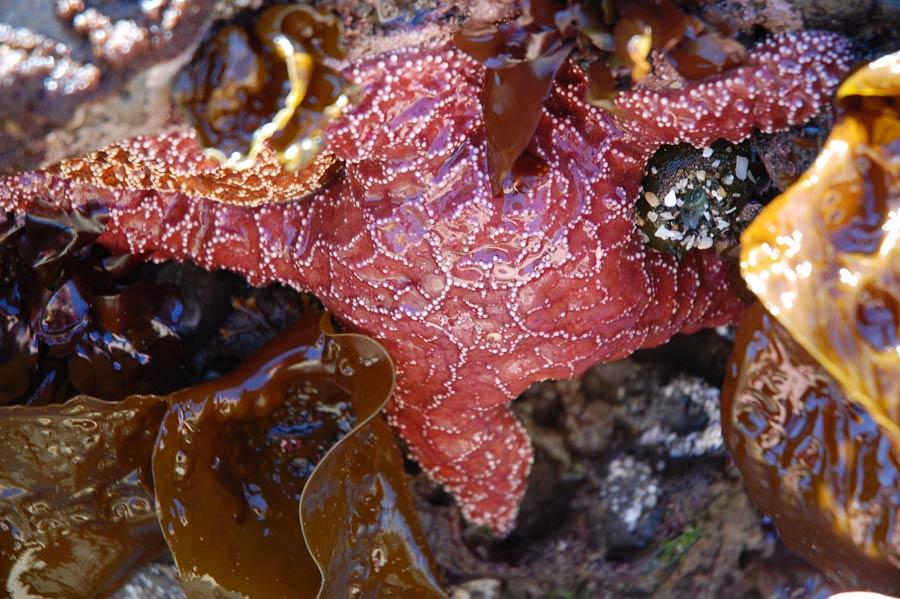 Red seastar, Rockaway Beach, Oregon