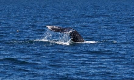 Spring Whale Watch Week Happening Now
