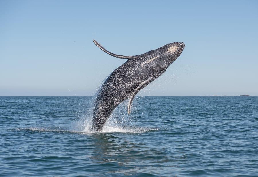 Whale breaching, Rockaway Beach, Oregon